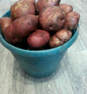 Картофель крупный