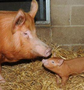 Продам взрослых свиней дюрок, дюрки, Duroc