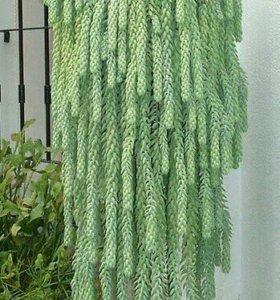 Растение водопад