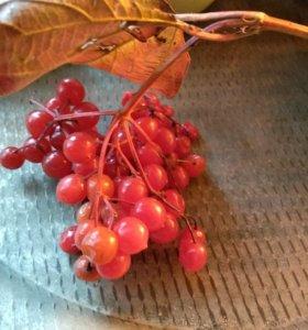 Калина ягоды