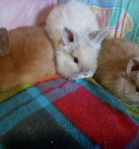 Кролики декоративные.