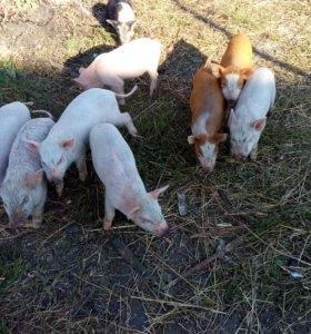 Продам ландрасо~вьетнамо~вислобрюхих свинок:)