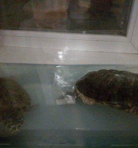 Морские (красноухие)черепахи.