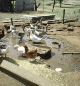 Продаются гуси живьем