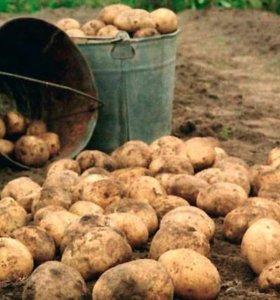 Картошка. Продажа