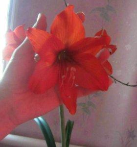 Комнатная лилия