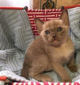 Продаются котята Европейской бурмы