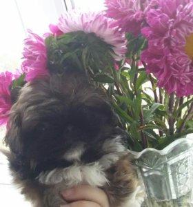 Пекинес щенок