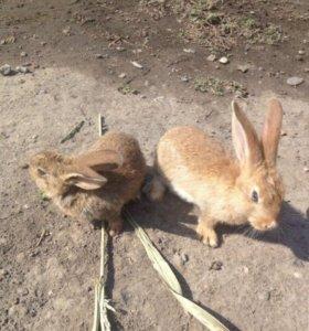 Гиганский кролик