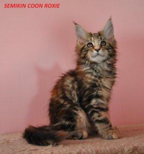 Котята Мейн куна от Чемпиона Мира