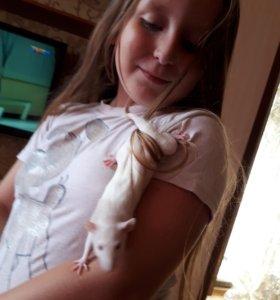 Крыса бесплатно срочно!!! Отдам в хорошие руки
