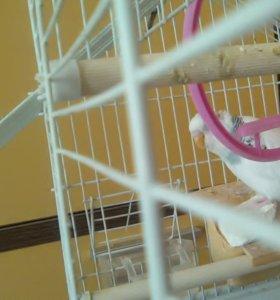 волнистые попугайчики пару