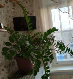 Замиокулькас — долларовое дерево. Небольшой торг.
