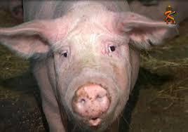 свинья  .