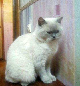 Шотландец котик вязка