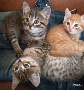 Котята от кошки породы скотиш фолд