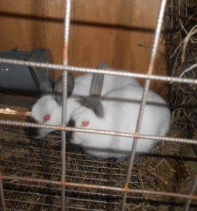 Продам кроликов-калифорнийцев