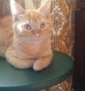 котенок-метис шотландского страйта