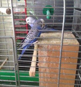 Волнистые попугаи (пара)