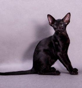 Чёрный ориентальный котенок