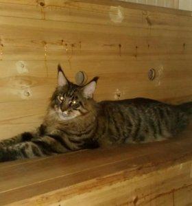 Кот мейн - кун приглашает на вязку
