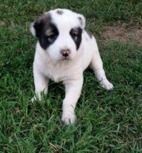 Продам щенков крупной породы Армянский гампр