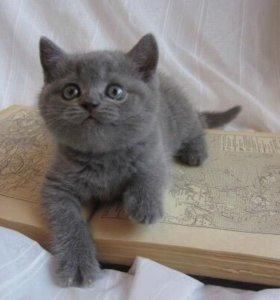 Хотим приобрести кошечку Британку(ещё котёнком)