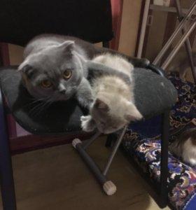 Британские котята Скоттиш-страйт