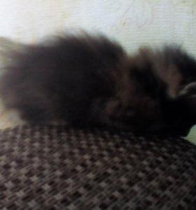 Кошка 2мес