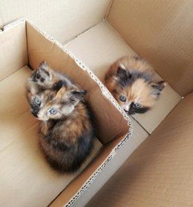 Срочно Кошечки даром