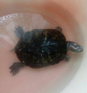 Срочно продам водяная черепаху 16 см