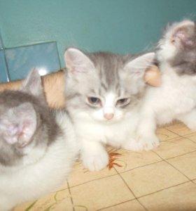 Длинношерстные пушистые котята ищут себе хозяев