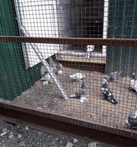 Бойние голуби