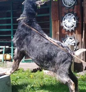 Обмен продажа  Нубийский козел.