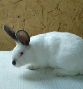 Кролики Калифорния+ НЗБ