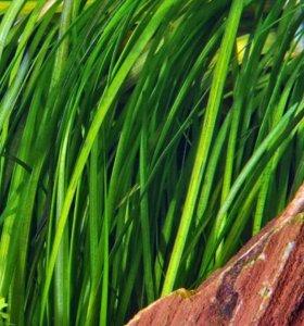 валлиснерия аквариумное растение