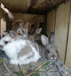 Продам крольчат - 1 месяц.
