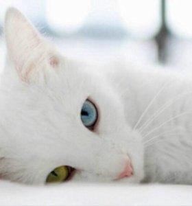 Шикарный котик с разными глазами