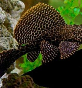 Аквариумные рыбы сомик чистильщик