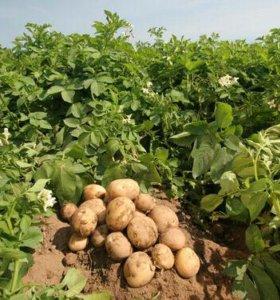 Продам отменный деревенский картофель