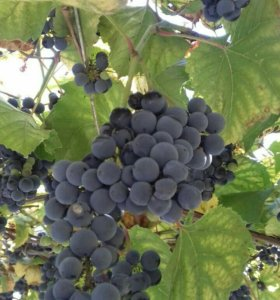 виноград винный