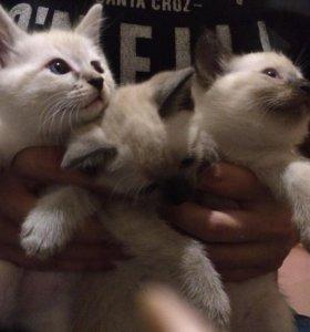 Тайская кошка,котята