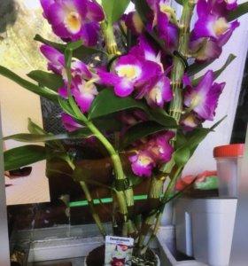 Орхидея фаленопсис - дендробиум