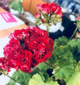 Цветы(герань, каланхоэ, фиалки )