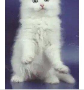 Отдам котёнка девочку белая