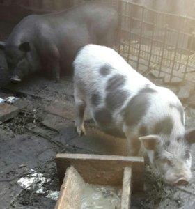 Свинки беременные