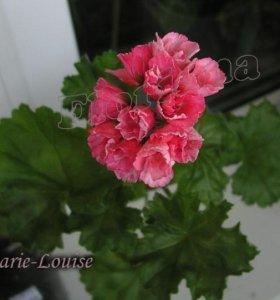 Пеларгония Marie Louse