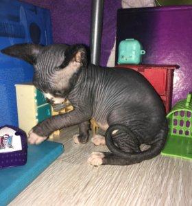 Кошечка Канадского сфинкса. Рождена 17.08.18