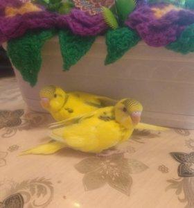 Попугаи волнистые и неразлучники