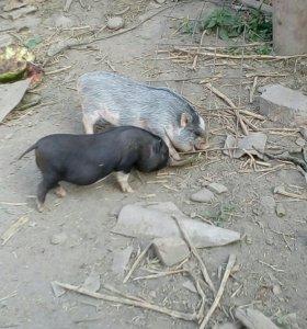 Свини вьетнамские